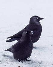 Crows In The Snow In The Netherlands