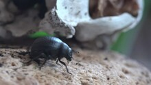Bloody-nosed Beetle Move Early In Morning Near Cat's Skull Timarcha Tenebricosa