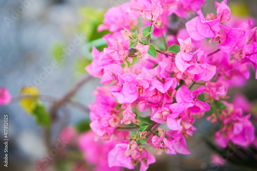 Valokuvatapetti Close up and selective focus of Magenta bougainvillaea blooming bush with flowers