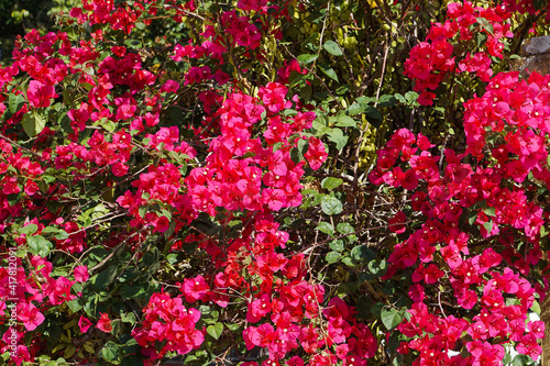 Close up and selective focus of Magenta bougainvillaea blooming bush with flowers Fotobehang