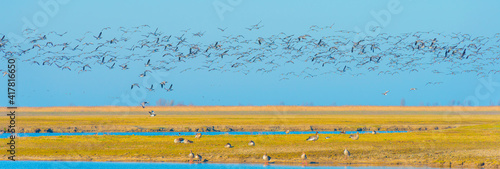 Foto Flock of geese flying in a bright blue sky over wetland in sunlight in winter, A