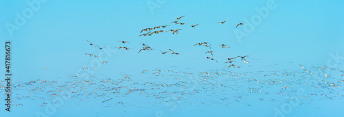 Canvas Flock of geese flying in a bright blue sky over wetland in sunlight in winter, A