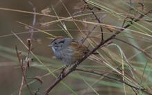 Swamp Sparrow (Melospiza Georgiana) Perched On Branch, Rusty Orange Mohawk Black Stripe Behind Eye, Grey Feathers, Brown Wings, Eye Detail
