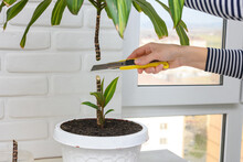 Cutting Indoor Plants, The Girl's Hands Cut Off The Upper Part Of The Cordilina Plant