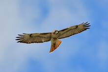 Red Tailed Hawk (Buteo Jamaicensis) Soaring And Looking Down With Blue Sky Background, Intense Stare