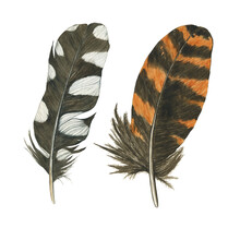 Two Feathers Wodpecker And Woodcock Isolated On White Background. Spotted And Striped, Black And Orange Feather. Realistic Painting. Boho Style.