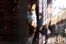 Beautiful Fox In The Zoo