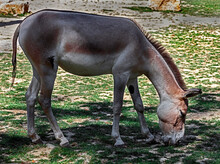Kulan Or Asian Wild Donkey On The Lawn. Latin Name - Equus Hemionus