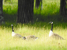 A Group Of American Geese By Old Stumps And Grass