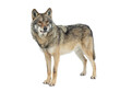 Gray wolf isolated on white background