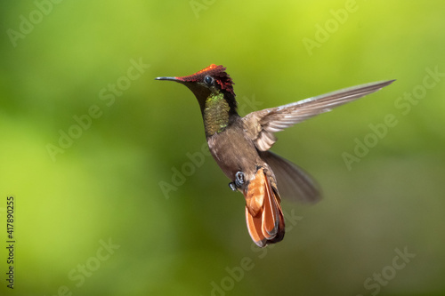 Fototapeta premium A male Ruby Topaz hummingbird (Chrysolampis mosquitus) hovering with a green bokeh background. wildlife in nature. Bird in flight. Hummingbird in garden