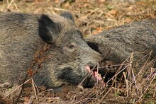 Yawning And Tired Wild Boar In The Bavarian Forests