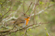 A singing robin on a tree