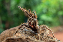 African Rear-horned Baboon Tarantula In Defensive Mode, Indonesia