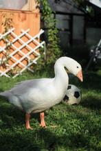 White Sad Goose And Soccer Ball