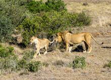 Zwei Löwen Löwen Paar Vor Einem Busch Stehend (Panthera Leo)
