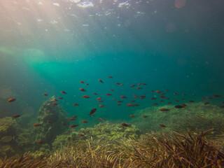 Fototapeta na wymiar Peces nadando en aguas cristalinas en aguas de la costa de Malllorca