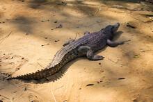 Large Crocodile Sunbathing On The Ground