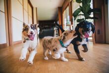 Australian Shepherd Puppies Play In Grass