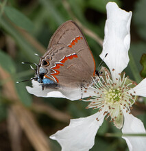 Hairstreak Butterfly On A Flower