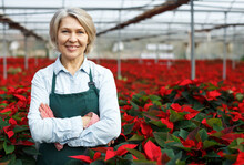 Confident Middle-aged Female Standing In Her Greenhouse On Background With Red Plantation Of Poinsettia Pulcherrima
