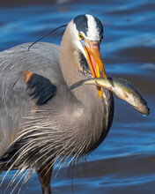 Great Blue Heron With A Fish Catch