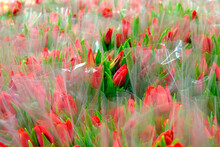 Many Red Tulips In Bouquets, Packed In Transparent Cellophane Wrap. Selective Focus. Spring Flowers For Women In The Store For Women's Day On March 8.