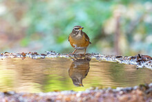 Eyebrowed Thrush (Turdus Obscurus) Bird Standing On Puddle In The Rainforest.