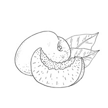 Apricot Fruit. Whole Fruit And Slice. Hand Draw Vector Illustration. Outline Paint Isolated On White Background.