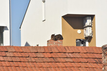 Domestic Cat Rest On The Chimney While Magpie Flying Around. Grey Cat On And Bird On Roof Of House