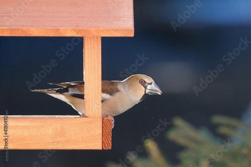 Obraz na plátne The hawfinch bird sitting in the bird feeder ( Coccothraustes coccothraustes)