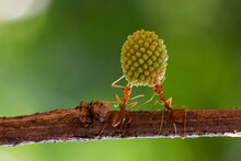 Two Ants On A Branch Lifting A Heavy Plant, Indonesia