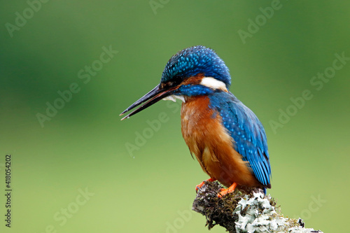 Male kingfisher fishing from a mossy branch Fototapeta