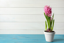 Beautiful Potted Hyacinth Flower On Light Blue Wooden Table. Space For Text