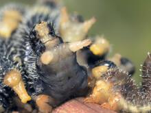 Spitfire Sawfly (Perga Affinis) Larvae In Defensive Posture On Branch, Australia