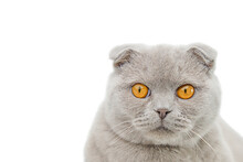 Gray Cat Scottish Scottish Fold Portrait Isolate