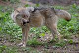 Fototapeta Zwierzęta - Wiilk