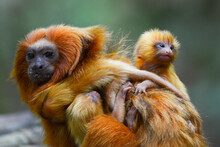 A Mother Golden Lion Tamarin (Leontopithecus Rosalia) And Its Three Newborn On One Of The Small Patches Of Remaining Atlantic Coastal Rainforest Of Rio De Janeiro State Where They Are Endemic.