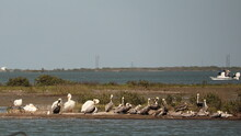 Pod Of Brown Pelicans Resting On A Storm Island ; Intermingled With A Few White Pelicans; Concept Of Racial Harmony; Coastal Texas