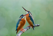 Pair Of Common Kingfisher Aleting To Invading Birds While Perching Together On Wooden Branch In Breeding Season