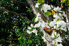 The Beautiful White Bauhinia Purpurea Flower In Spring