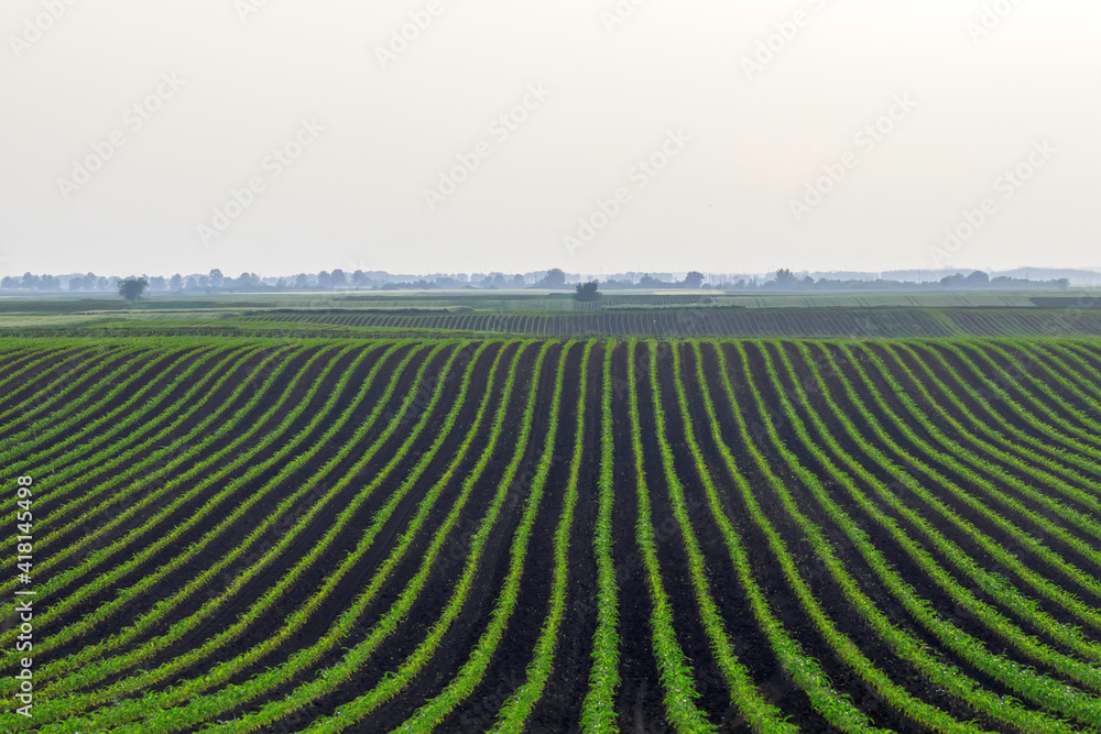 Fototapeta Green Corn Growing on the Field. Green Corn Plants, Shallow depth of field, Agriculture background