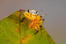 Orange Ladybug On A Leaf With Spread Wings, Indonesia