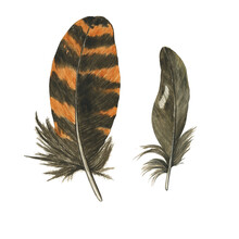 Two Feather Striped Of Owl Or Woodcock And Gray Isolated On White Background. Watercolor Hand Drawing Illustration. Brown And Orange Feather. Realistic Painting.