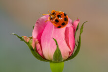 Close-up Of A Ladybug On A Pink Rose, Indonesia