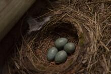 Black Dog Smelling Bird`s Nest With One Light Blue Egg