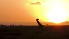 Masai Giraffe And Baby Sunrise Masai Mara Kenya E. Africa