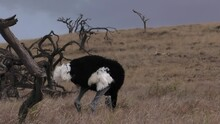 Somali Ostrich Browsing For Food E. Africa