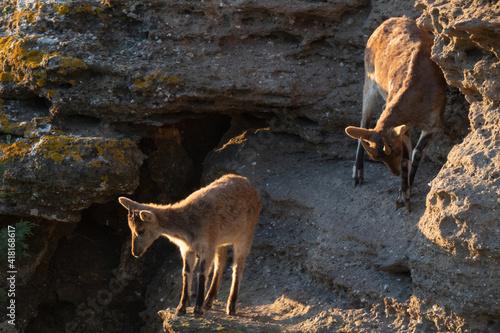 Fotografie, Tablou capra pyrenaica