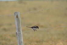 Southern Fiscal Sitting On The Wire Fence